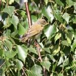 willowwarbler